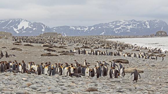 MC008218 King penguin