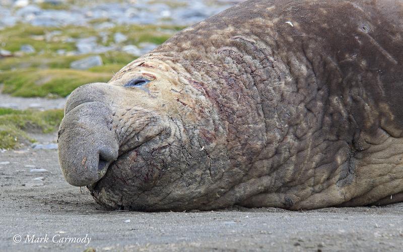 MC008755 Elephant Seal male