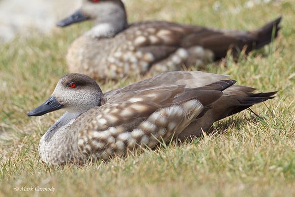 MC002707 Crested Duck
