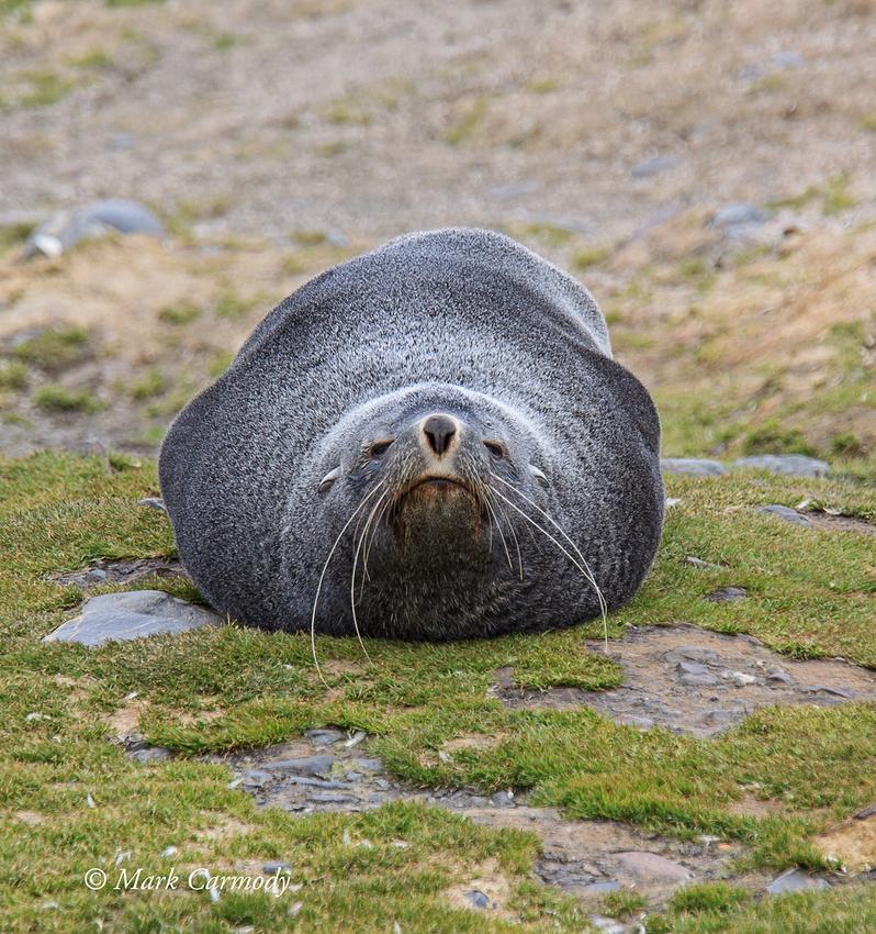 MC008808 Fur seal headon