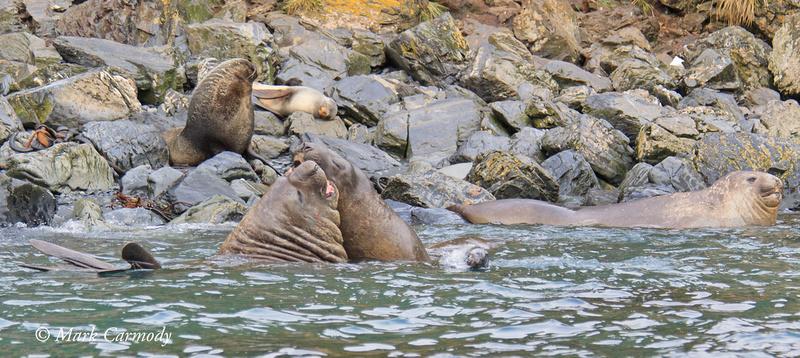 MC007679 Elelphant Seal fight