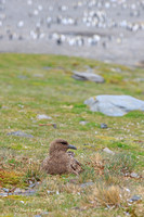 MC__0282 Brown Skua