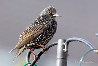 Common (European) Starling