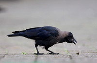 Indian House Crow (Corvus splendens)