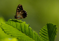 Speckled Wood (Pararge aegeria tircis)