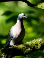 Common Woodpigeon (Columba palumbus)