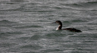 Great Northern Diver or Common Loon (Gavia immer)