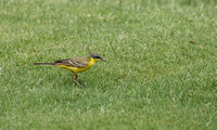 """Black-Headed"" Yellow Wagtail"