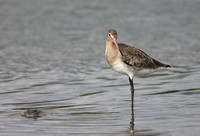 Black-tailed Godwit (Icelandica)