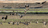 White-fronted Geese landing
