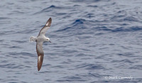 MC003535 Southern Fulmar copy