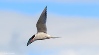MC009642 Antarctic Tern