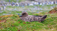 MC__0278 Antarctic Brown Skua