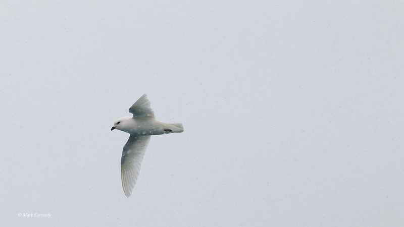 MC000650 Snow Petrel