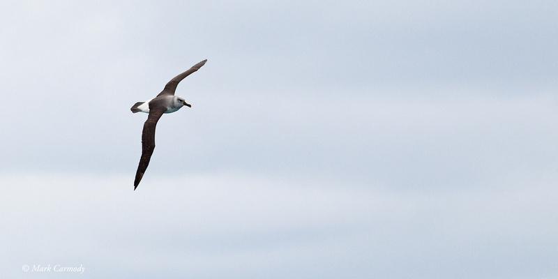 MC001112 Grey-headed Albatross