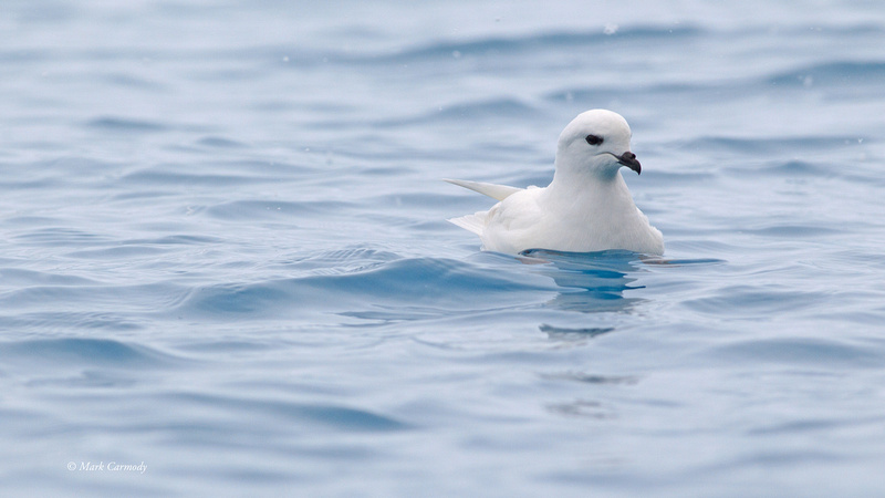 MC001218 Snow Petrel