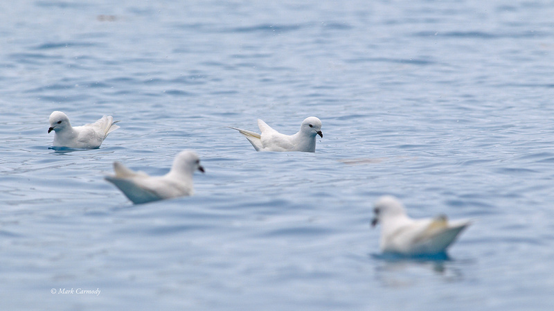 MC001276 Snow Petrel