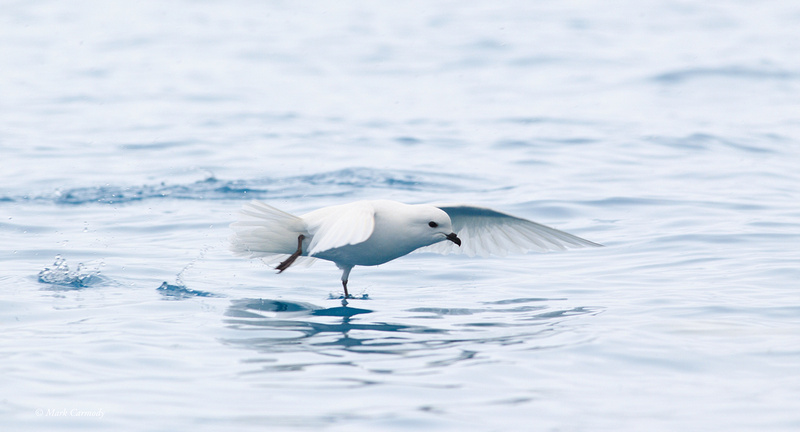 MC001282 Snow Petrel