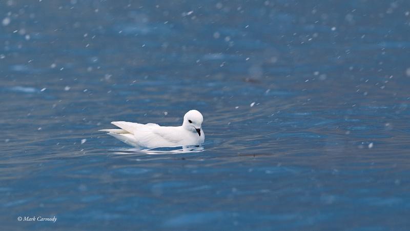 MC001344 Snow Petrel