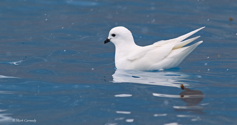 MC001361 Snow Petrel