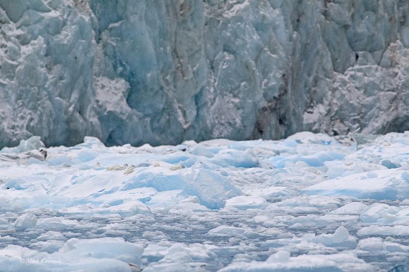 MC001421 Snow Petrel ice