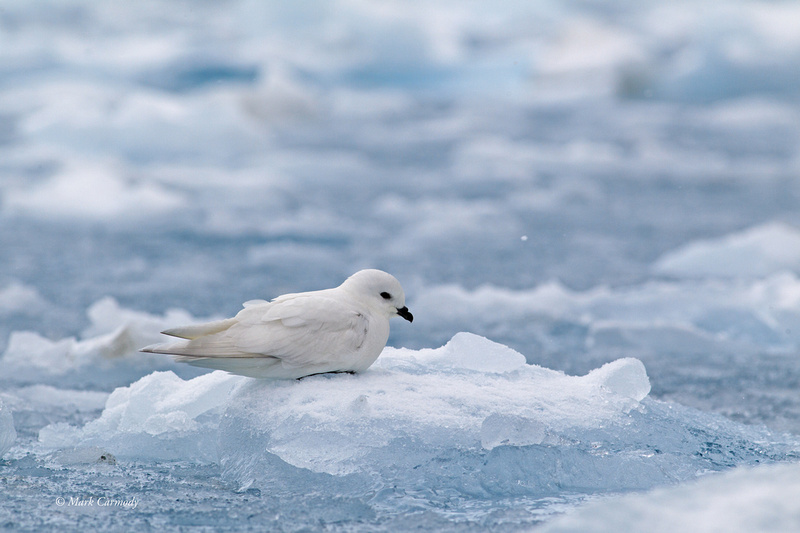 MC001479 Snow Petrel