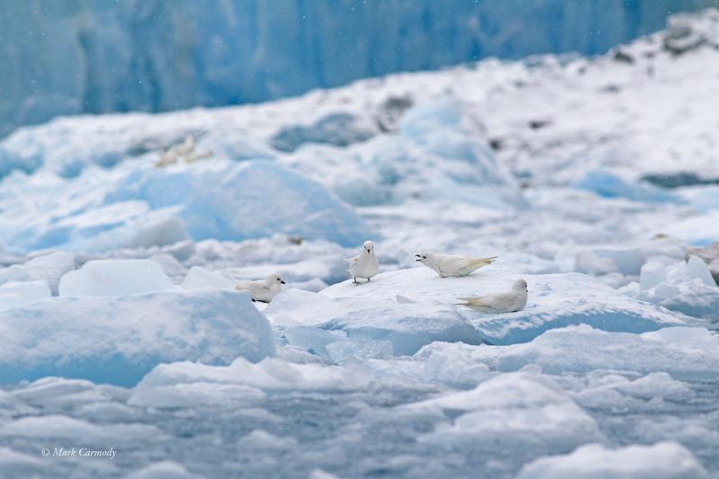MC001501 Snow petrels