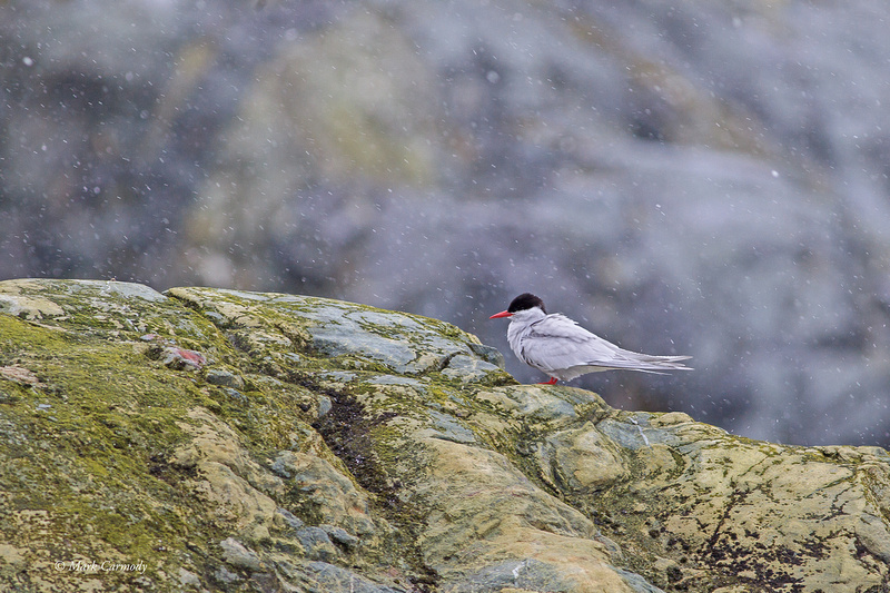 MC001630 Antarctic Tern