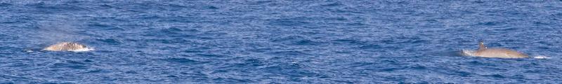 MC001932 Beaked Whale