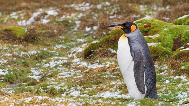 MC009191 King Penguin Stromness