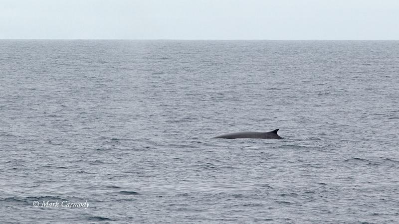 MC003107 (1) Fin Whale