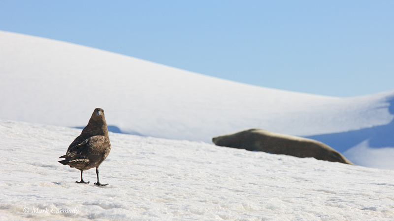 MC__5814 Antarctic Skua and Weddell Seal