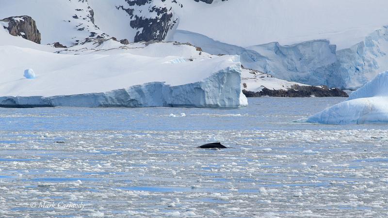 MC005732 Humpback whale