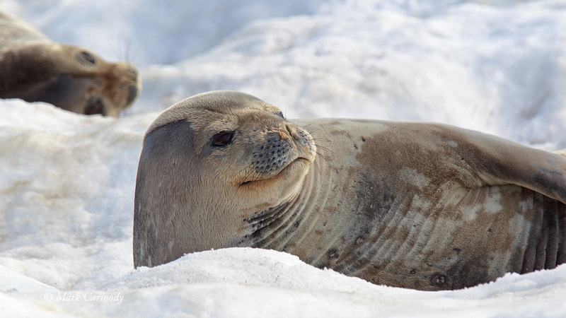 MC005826 Weddell Seal