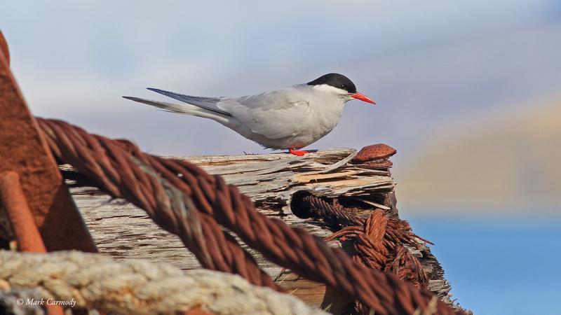 MC009755 Antarctic Tern