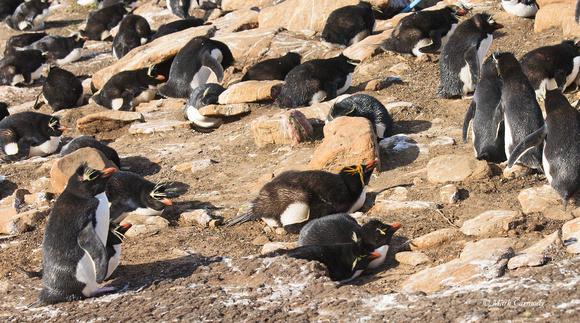Macaroni and Rockhopper Penguin