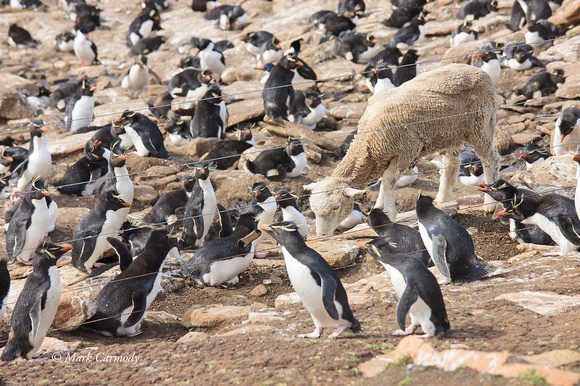 Rockhopper and sheep