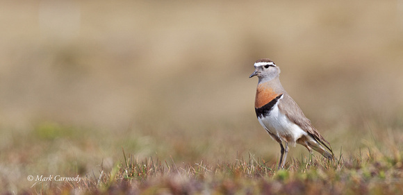 Rufous-breasted Dotterel