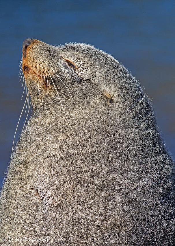 MC009608 Fur Seal