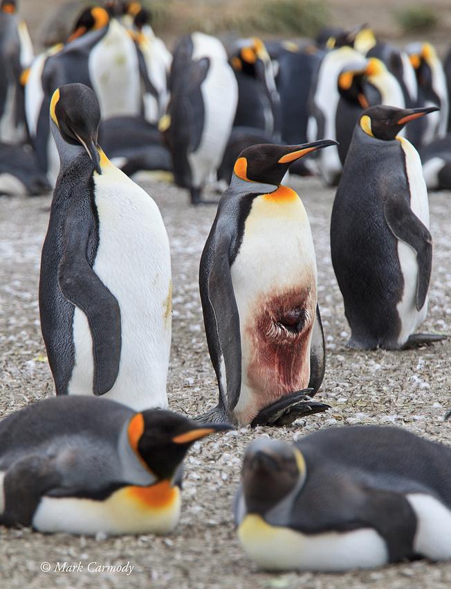 MC008474 King Penguin injured