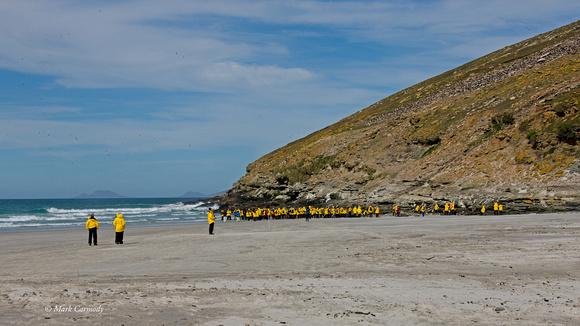 Yellow Penguins Saunders