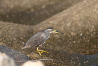 Striated or Green-backed Heron