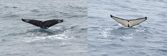Humpback pair tails