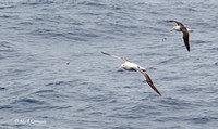 Wandering & Black-browed Albatross and Antarctic Prion