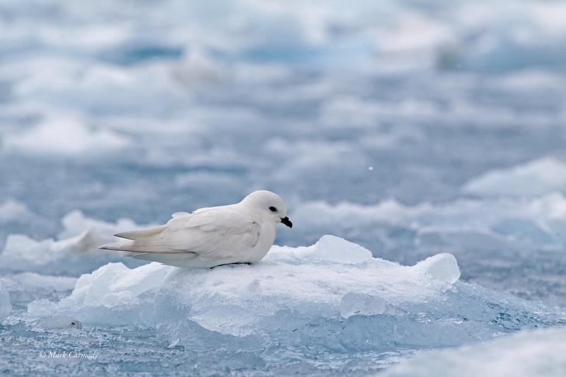 MC001479 Snow Petrel