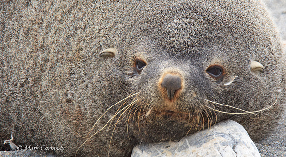 MC008224 Fur Seal