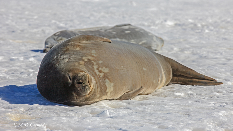 MC__5659 Weddell Seal