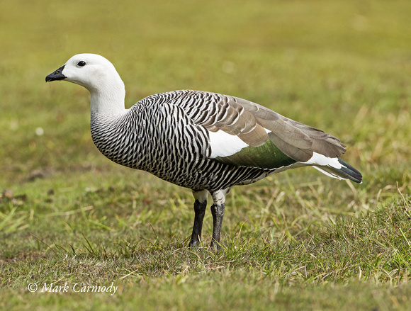 Upland Goose (male)