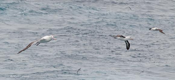 Southern Royal Albatross, Black-browed Albatross and Antarctic Prion