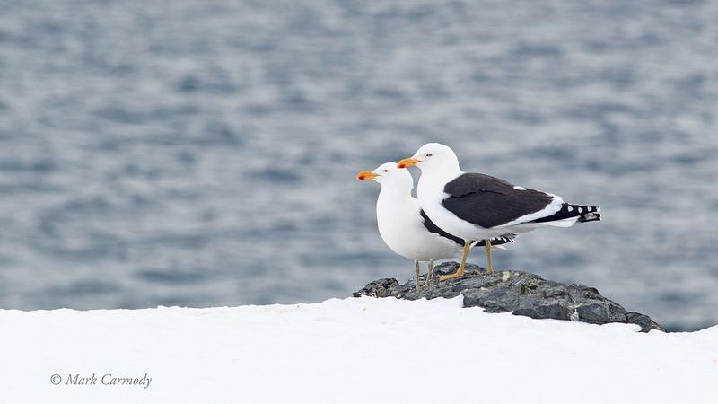 MC004945 Antarctica Kelp Gull